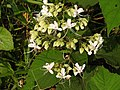 Clerodendrum infortunatum-4-kottor-kerala-India.jpg