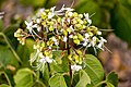 Clerodendrum viscosum - ভাট ফুল - বনজুঁই (Bn).jpg