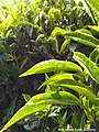Close-up look on tea shrubs at BOH Sungei Palas Tea Plantation, Cameron Highlands.jpg
