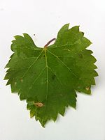 Close up of Viognier leaf.JPG