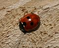 Coccinella septempunctata (7-spot ladybird) - Flickr - S. Rae (7).jpg