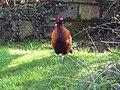Cock Pheasant - geograph.org.uk - 360750.jpg