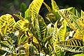 Codiaeum variegatum Yellow Thai 1zz.jpg