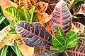 Codiaeum variegatum var. pictum 0zz.jpg