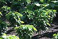 Coffea arabica 40zz.jpg