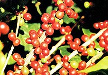 Coffea robusta.jpg