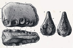 Coloborhynchus - Holotype jaw fragment of C. clavirostris in multiple views