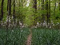 Colonie d' Asphodèles blancs (Asphodelus albus) - Forêt de Mervent-Vouvant.jpg