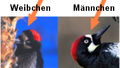 Coloration patterns of female and male Acorn Woodpecker.png