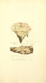 Coloured Figures of English Fungi or Mushrooms - t. 422.png