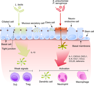 Lung microbiota - Mechanisms underlying inflammation. The airway epithelium has a complex structure consisting of at least seven diverse cell types interacting with each other by means of tight junctions. Epithelial cells can transmit immunostimulatory signals to underlying tissues taking part in the mechanisms of innate and adaptive immune response. The key transmitters of these signals are dendritic cells. Once pathogenic bacteria (e.g., S. pneumoniae, P. aeruginosa) have activated particular pattern recognition receptors on/in epithelial cells, the proinflammatory signaling pathways are activated. This results mainly in IL-1, IL-6 and IL-8 production. These cytokines induce chemotaxis to the site of infection in its target cells (e.g., neutrophils, dendritic cells and macrophages). On the other hand, representatives of standard microbiota induce only weak signals preventing inflammation. The mechanism of distinguishing between harmless and harmful bacteria on the molecular as well as on physiological levels is not completely understood.
