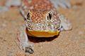 Common Barking Gecko (Ptenopus garrulus) (7042355355).jpg