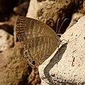 Common Cerulean. Jamides celeno. Lycaenidae. - Flickr - gailhampshire.jpg