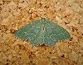 Common Emerald (48832821511).jpg