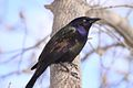 Common Grackle (8705207291).jpg