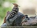 Common Hoopoe (Upupa epops) & House Sparrow (Passer domesticus) (31634678387).jpg