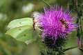 Common brimstones (Gonepteryx rhamni) two males.JPG