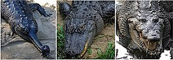 Comparison - Crocodilia.jpg