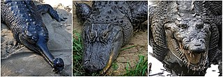 Eusuchia taxon of reptiles