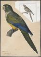 Conurus patagonus - 1825-1838 - Print - Iconographia Zoologica - Special Collections University of Amsterdam - UBA01 IZ18500147.tif