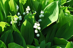 Convallaria majalis Lily-of-the-Valley შროშანა