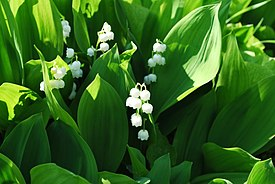 Convallaria majalis Lily-of-the-Valley შროშანა.JPG
