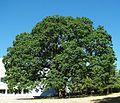Cooley Science Center oak - Hillsboro, Oregon.JPG