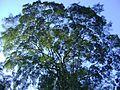 Copa de grande árvore do horto.jpg