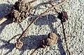 Coralloid root nodules. Sea buckthorn. Merthyr Mawr , October 1968. NB. Was white when dug up (31021734145).jpg