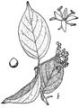 Cornus drummondii BrittonBrown.png