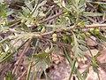 Coronopus didymum inflorescens (05).jpg
