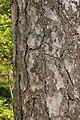 Corsican Pine Pinus nigra laricio Bark 2000px.jpg