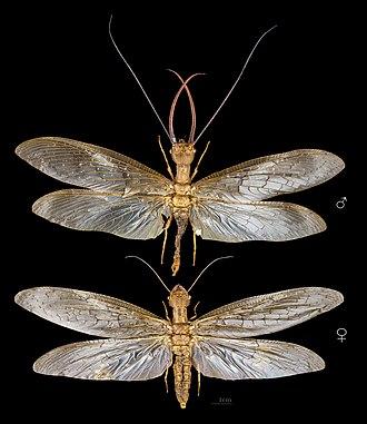 Dobsonfly - Image: Corydalus cornutus MHNT