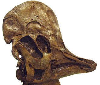 Corythosaurus - Skull of the type specimen