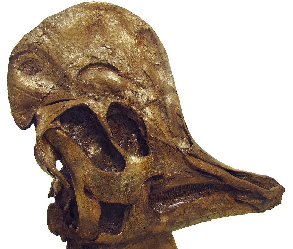 Corythosaurus Hendrickx2