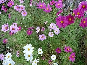 Cosmos plante wikip dia for Bouquet de fleurs wiki