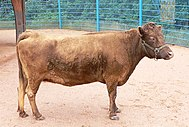 Cow (Disney's Animal Kingdom, 2005).jpg