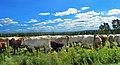 Cows - panoramio (9).jpg