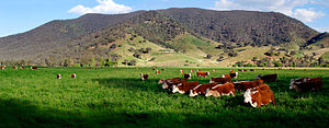 Hereford cattle grazing in a field at the Nullamunjie Olive Grove in Tongio, in Victoria, Australia.