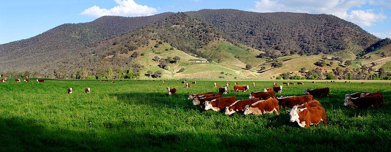 Image:Cows in green field - nullamunjie olive grove03.jpg