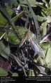 Crane fly (Tipulidae) (25713961125).jpg