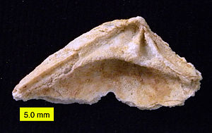 Veneridae - Dentition of venerid bivalve; Wadi Umm Ghudran Formation (Late Cretaceous, early Campanian), near Amman, Jordan