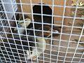 Crias macho de Pato Mudo (5).jpg
