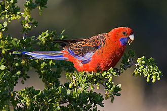 Crimson rosella - Swifts Creek, Victoria, Australia