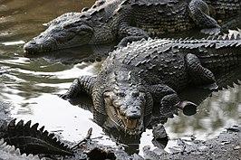 Spitssnuitkrokodillen (Crocodylus acutus) in de natuurlijke habitat: een moeras in Jalisco, Mexico.