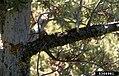Cronartium ribicola Pinus flexilis (01).jpg