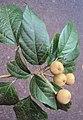 Croton malabaricus 33.jpg