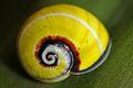 Cuban Painted Snail (Polymita picta) (8573971615).jpg