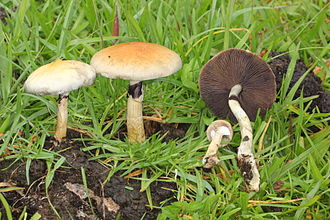 Psilocybe cubensis - Image: Cubensis.natural.hab itat 2