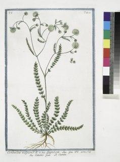 <i>Lagoecia</i> Genus of Apiaceae plants